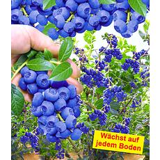 """Garten-Welt Trauben-Heidelbeere """"Reka® Blue"""", 1 Pflanze blau"""