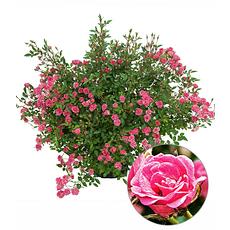 """Garten-Welt Lilly Rose® """"Wonder5"""", 1 Pflanze rosa"""