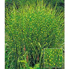 Garten-Welt Zebra-Gras , 1 Pflanze mehrfarbig