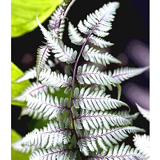 """Garten-Welt Schmuck-Farn """"Silver Falls®"""", 1 Pflanze weiß"""