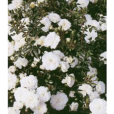 """Garten-Welt Rose """"Sea Foam"""", 1 Pflanze weiß"""