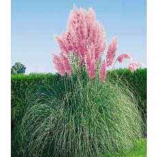 Garten-Welt Rosa Pampasgras 1 Pflanze rosa
