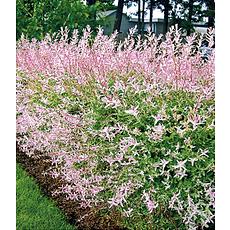 """Garten-Welt Salix-Hecke """"Hakuro Nishiki"""" , 1 Pflanze rosa"""