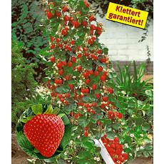 "Baldur-Garten Kletter-Erdbeere ""Hummi"", 3 Pflanzen rot"