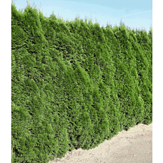 """Garten-Welt Lebensbaum-Hecke """"Smaragd"""" , 1 Pflanze grün"""