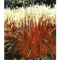 """Garten-Welt Ziergras """"Indian Summer"""", 1 Pflanze rot"""