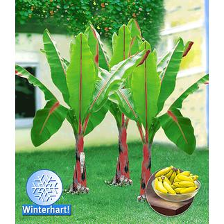 Baldur-Garten Winterharte Banane 1 Pflanze rot