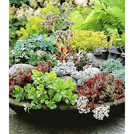 Garten-Welt Winterharte Sedum-Mischung 6 Pflanzen mehrfarbig