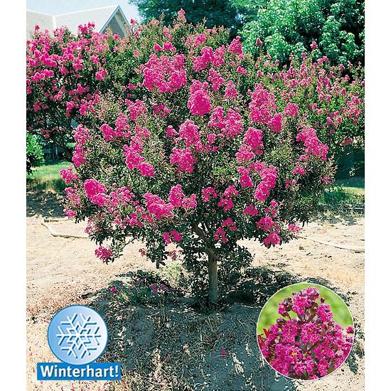 Baldur-Garten Flieder des Südens 1 Pflanze pink