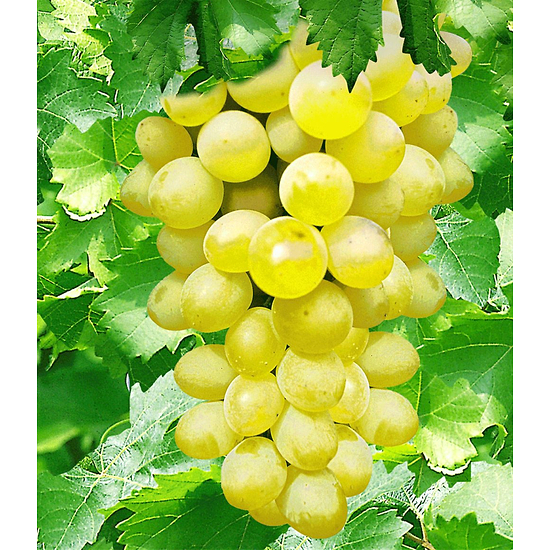 """Garten-Welt Kernlose Tafel-Traube """"New York®"""", 1 Pflanze gelb"""