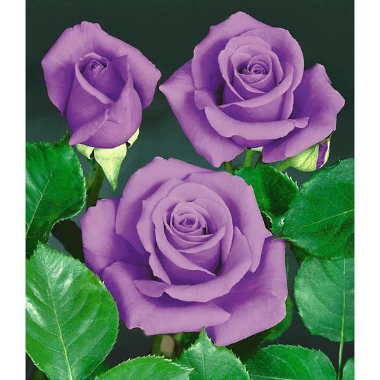 """Garten-Welt Rose """"Blue Saphir"""", 1 Pflanze blau"""