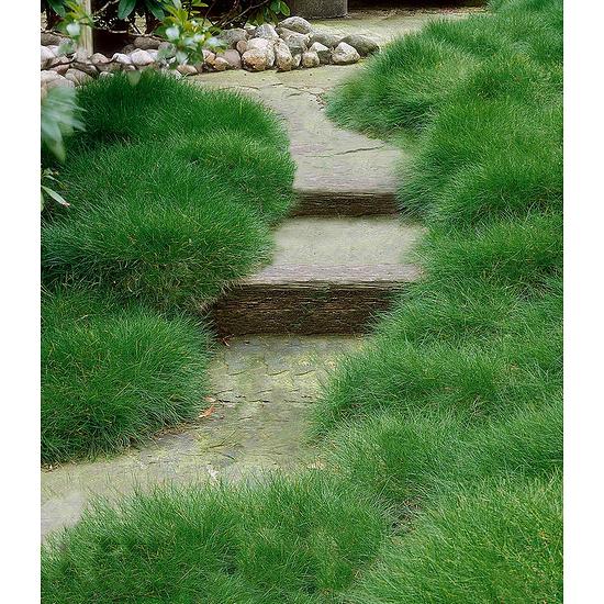 Garten-Welt Bärenfellgras , 3 Pflanzen grün