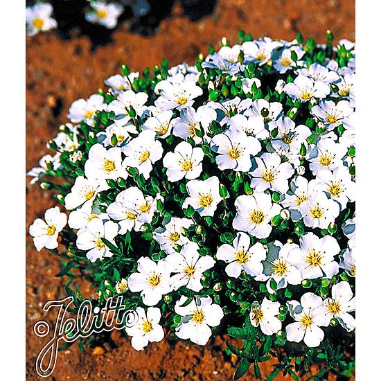 Baldur-Garten Bergsandblume 3 Pflanzen weiß