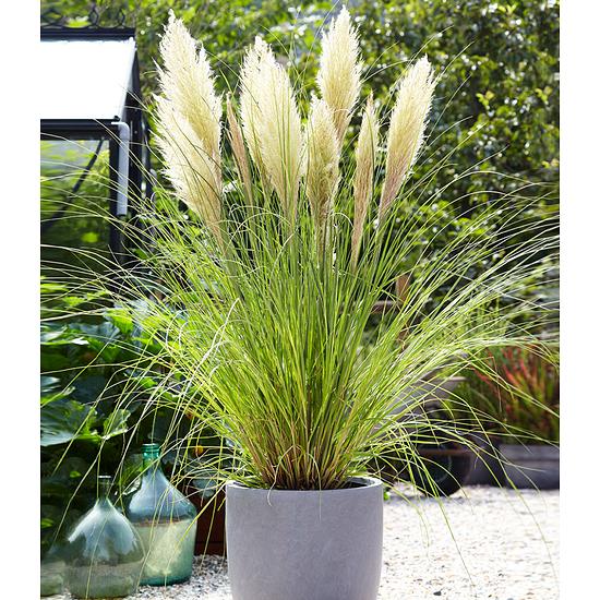 Garten-Welt Weißes Pampasgras 1 Pflanze weiß