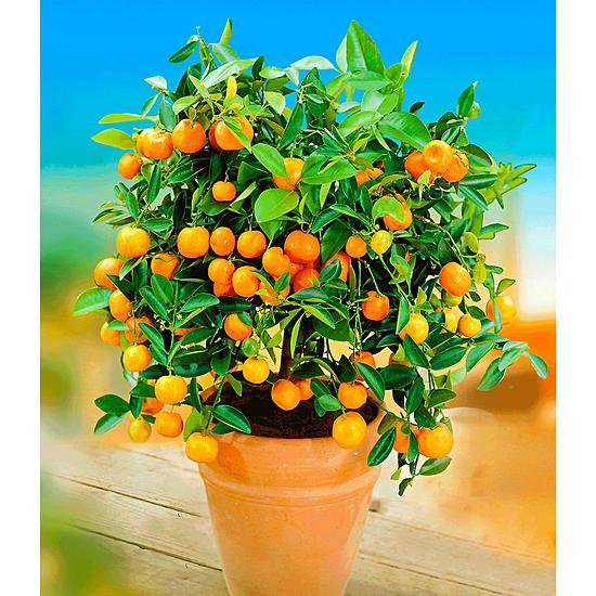 Garten-Welt Orangen-Bäumchen 1 Pflanze orange