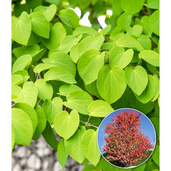 Garten-Welt Lebkuchenbaum , 1 Pflanze rot