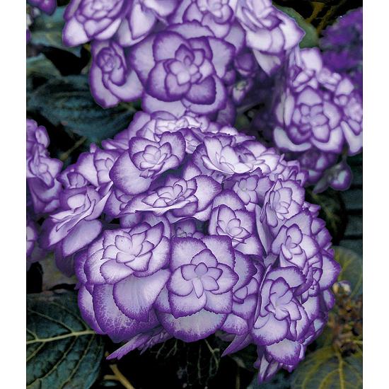 "Baldur-Garten Freiland-Hortensie ""Miss Saori blue®"", 1Pflanze lila"