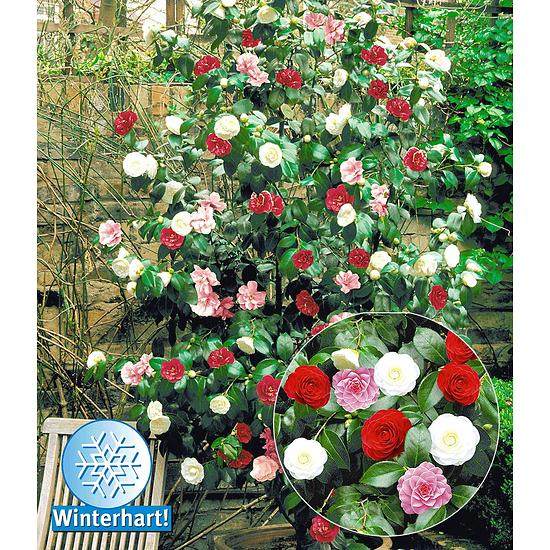 """Garten-Welt Winterharte Garten-Kamelie """"Tricolor"""", 1 Pflanze mehrfarbig"""