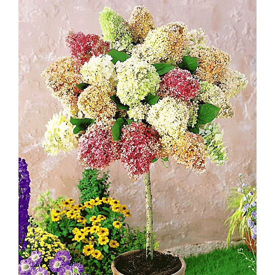 """Baldur-Garten Hortensien-Stämmchen """"Grandiflora"""", 1 Pflanze mehrfarbig"""