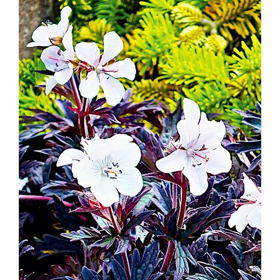 """Garten-Welt Geranium """"Purple Ghost"""" , 1 Knolle weiß"""