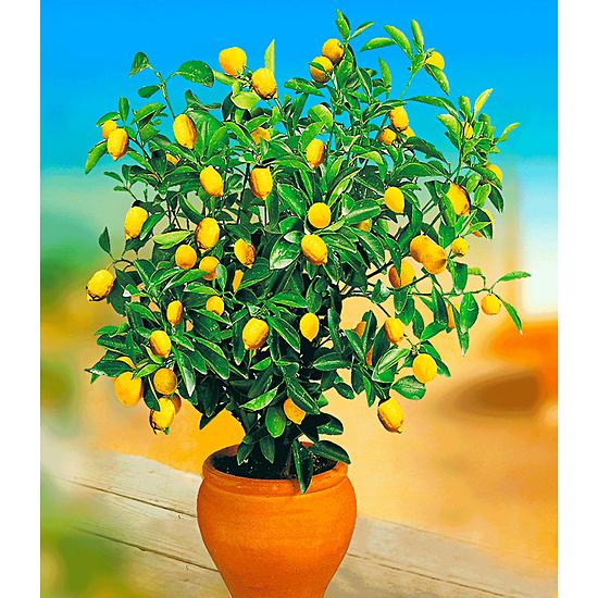 Baldur-Garten Zitronen-Bäumchen 1 Pflanze gelb