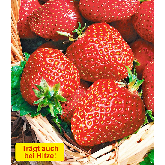 "Garten-Welt Immertragende Erdbeere ""Seascape®"", 6 Pflanzen rot"