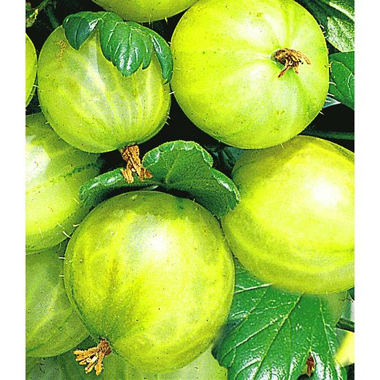 """Garten-Welt Stachelbeer-Stamm """"Gelbe Invicta"""", 1 Stamm gelb"""
