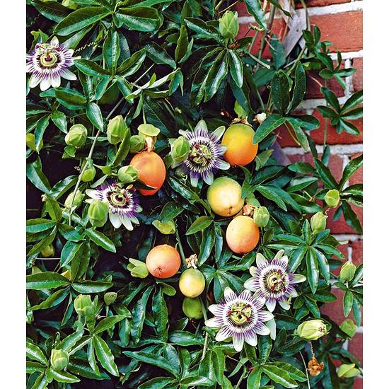 Garten-Welt Maracuja-Pflanze , 1 Pflanze mehrfarbig