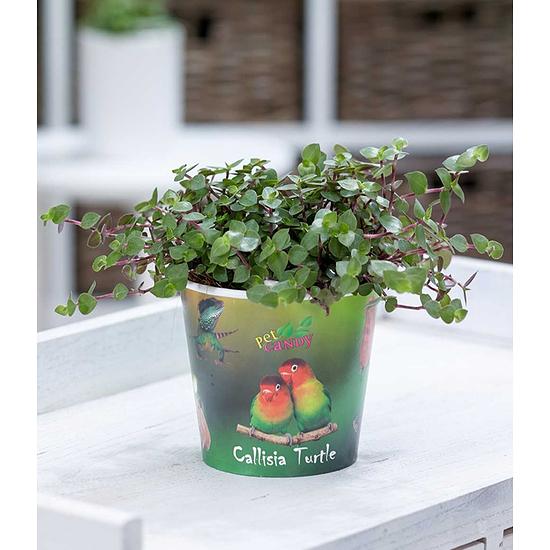 """Garten-Welt Callisia """"Turtle"""" , 1 Pflanze grün"""