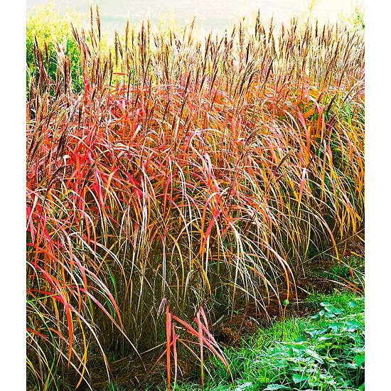 Garten-Welt Miscanthus-Hecke , 1 Pflanze rot