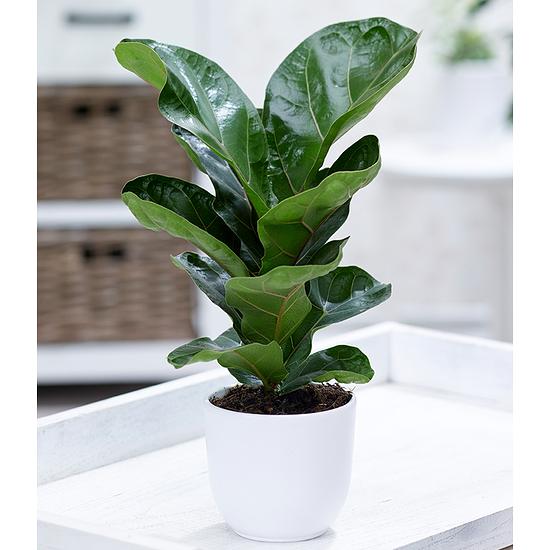 """Garten-Welt Ficus """"Bambina"""", 1 Pflanze grün"""