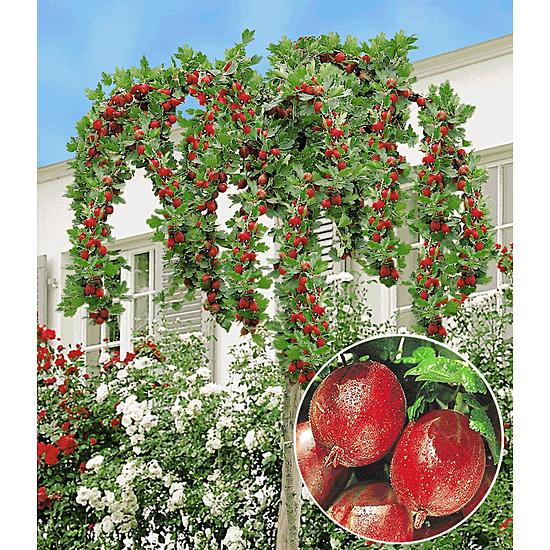 """Garten-Welt Stachelbeer-Stämmchen """"Captivator"""", 1 Stamm rot"""