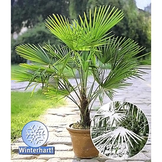 Baldur-Garten Winterharte Kübel-Palme 1 Pflanze grün