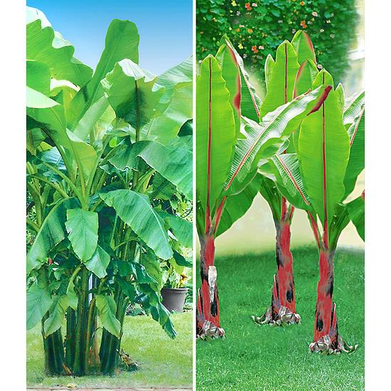 Garten-Welt Winterharte-Bananen-Kollektion 2 Pflanzen grün