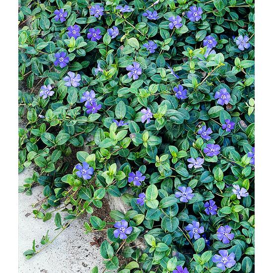 "Garten-Welt Vinca minor ""Blau"" , 3 Pflanzen lila"