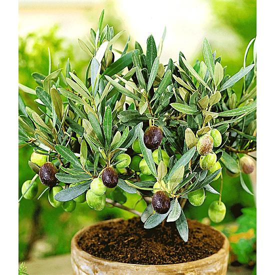 Garten-Welt Olive 1 Pflanze grün