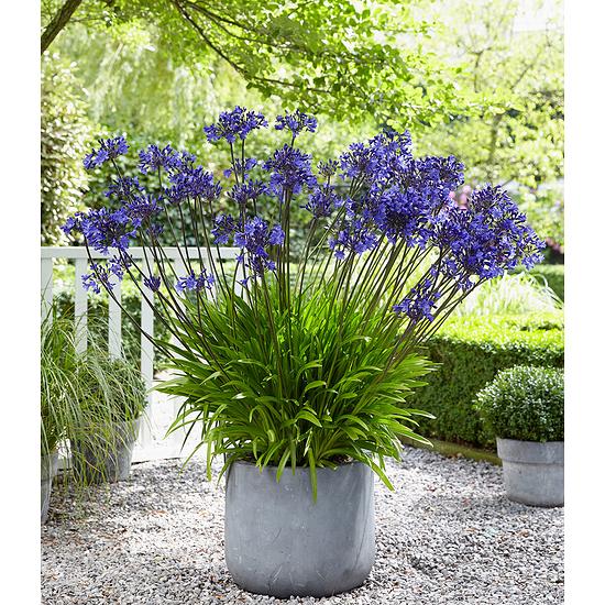 """Garten-Welt Agapanthus """"Blue"""" , 3 Knollen blau"""