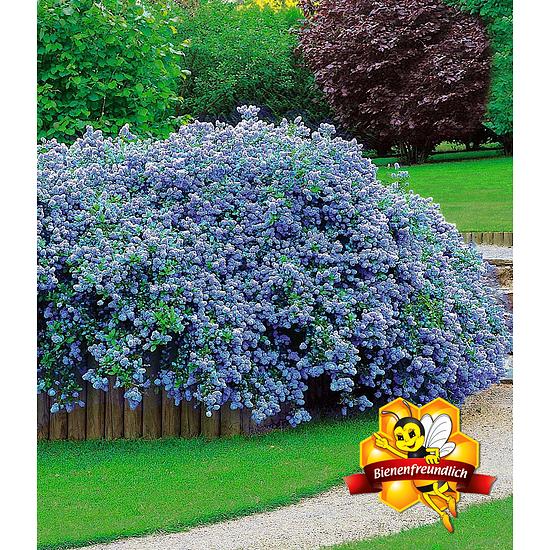 """Garten-Welt Ceanothus """"Blue Fashion"""", 3 Pflanzen blau"""