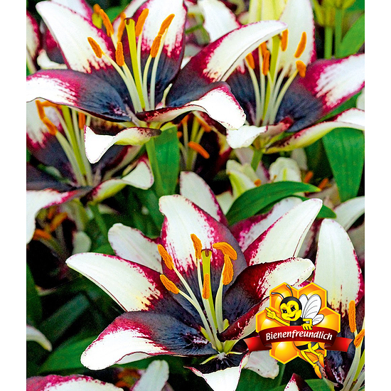 """Garten-Welt Lilie """"Netty´s Pride"""" , 3 Knollen mehrfarbig"""