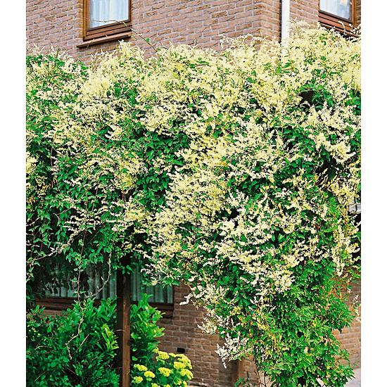 Garten-Welt Knöterich 1 Pflanze gelb
