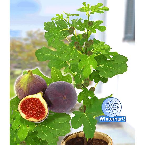 "Baldur-Garten Frucht-Feige ""Rouge de Bordeaux"" groß, 1 Pflanze lila"