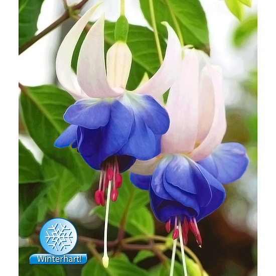 """Garten-Welt Winterharte Fuchsie """"Blue Sarah"""", 3 Pflanzen blau"""