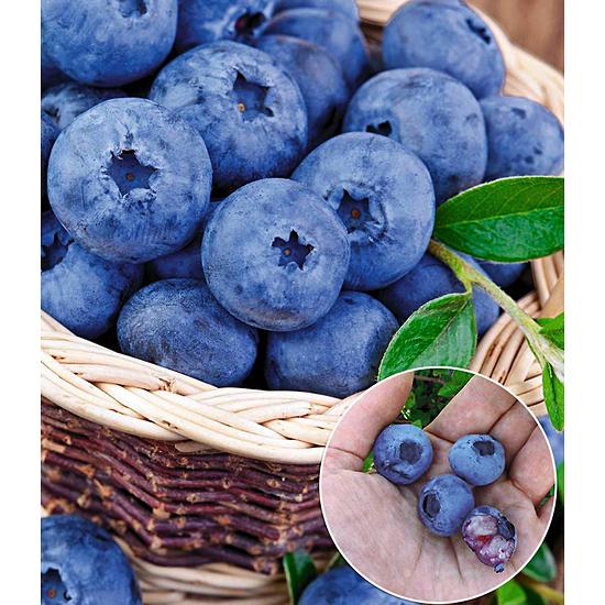 """Baldur-Garten Heidelbeere """"Kosmopolitan"""",1 Pflanze blau"""