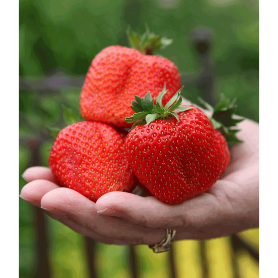 "Garten-Welt Erdbeere ""Sweet Mary XXL"", 3 Pflanzen rot"