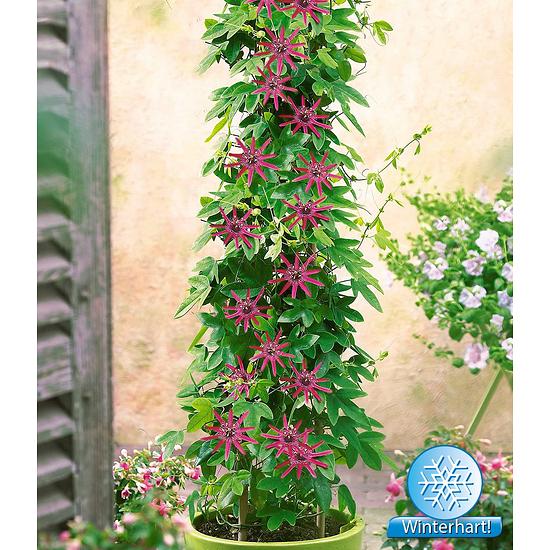 "Garten-Welt Winterharte Passionsblume ""Ladybirds Dream"", 1 Pflanze pink"