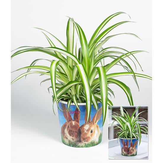 "Garten-Welt Chlorophytum ""Hase"" , 1 Set grün"