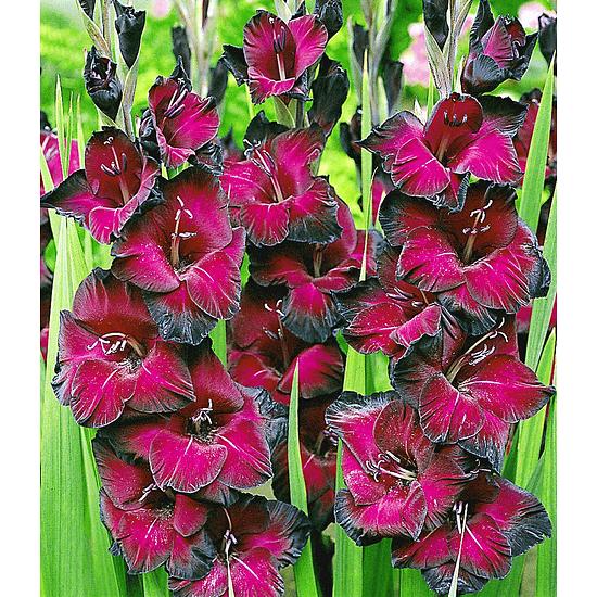 """Garten-Welt Riesen-Gladiole """"Schönheit der Nacht"""" , 15 Stück rot"""