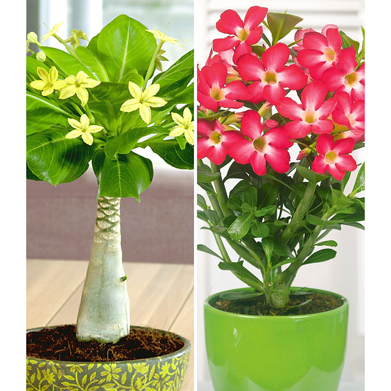 Garten-Welt Zimmerpflanzen-Kollektion 2 Pflanzen mehrfarbig