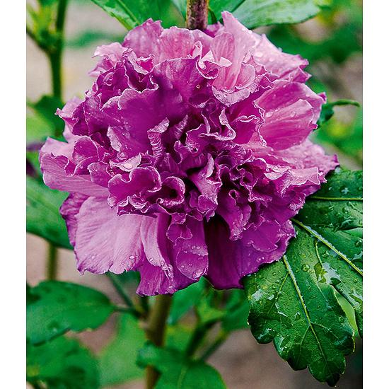 "Garten-Welt Freiland-Hibiskus ""French Cabaret"", 1 Pflanze lila"