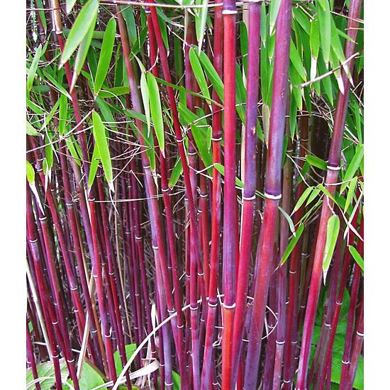 """Baldur-Garten Roter Bambus """"Chinese Wonder"""", 1 Pflanze rot"""